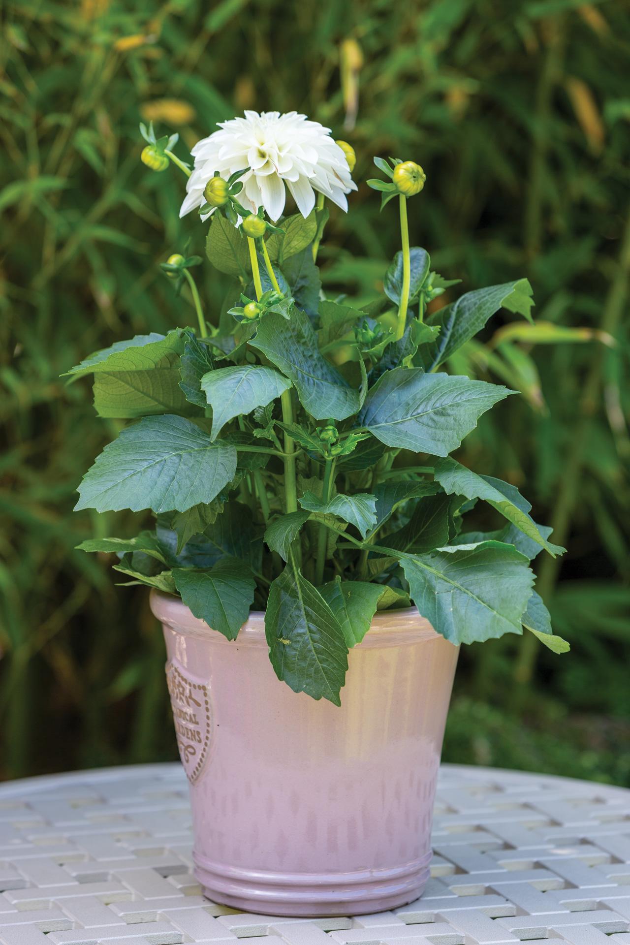 gromor-white-dahlia